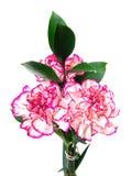 Rosafarbene Gartennelke lizenzfreies stockfoto