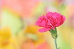 Rosafarbene Gartennelke stockfotos