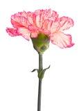 Rosafarbene Gartennelke Stockfoto
