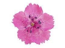 Rosafarbene Gartennelke getrennt auf weißem Hintergrund Lizenzfreies Stockfoto