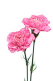 Rosafarbene Gartennelkeblumen auf weißem Hintergrund Stockfotografie