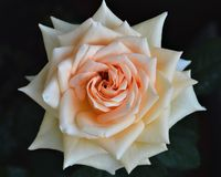 Rosafarbene Geisha Vielzahl der Blume, Floribunda, durch Tantau Stockbilder