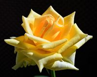 Rosafarbene Geisha Vielzahl der Blume, Floribunda, durch Tantau Lizenzfreie Stockfotos