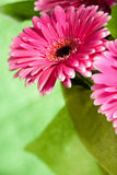 Rosafarbene gerber Blumen Stockfotografie