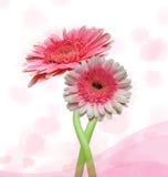 Rosafarbene Gerberablume Stockbild
