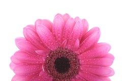 Rosafarbene Gerberablume getrennt auf Weiß Lizenzfreie Stockfotografie