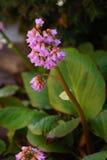 Rosafarbene Glockenblumen stockfotos