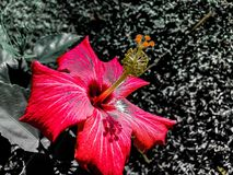 Rosafarbene Hibiscus-Blumen Stockbilder