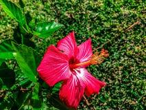 Rosafarbene Hibiscus-Blumen Stockbild