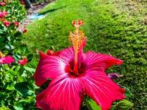 Rosafarbene Hibiscus-Blumen Lizenzfreie Stockfotografie