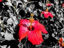 Rosafarbene Hibiscus-Blumen Lizenzfreies Stockbild