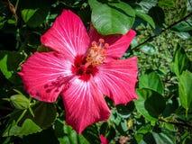 Rosafarbene Hibiscus-Blumen Lizenzfreies Stockfoto