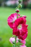 Rosafarbene Hibiscus-Blumen Lizenzfreie Stockbilder
