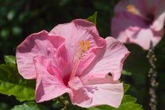 Rosafarbene Hibiscus-Blumen Stockfotografie