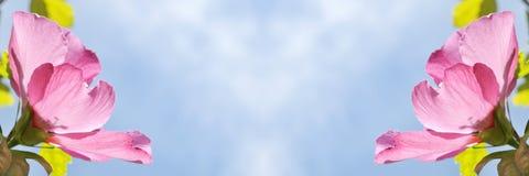 Rosafarbene Hibiscusblumen Lizenzfreie Stockbilder