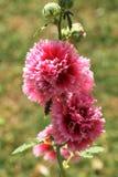 Rosafarbene Hollyhockblumen Stockfoto