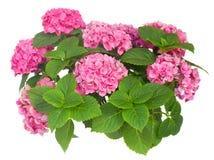 Rosafarbene Hortensiablumen Stockfoto