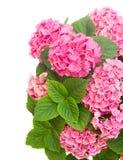 Rosafarbene Hortensiablumen Stockbilder