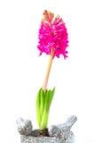 Rosafarbene Hyazintheblume Stockfotos