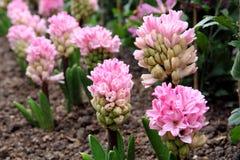 Rosafarbene Hyazinthen im Frühjahr Stockfotos