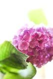 Rosafarbene Hydrangeas Lizenzfreies Stockbild