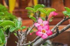 Rosafarbene Impalalilie Stockbild