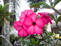 Rosafarbene Impalalilie Lizenzfreie Stockfotografie