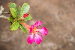 Rosafarbene Impalalilie Lizenzfreie Stockbilder