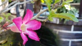 Rosafarbene Impalalilie lizenzfreies stockfoto