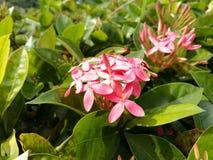Rosafarbene Ixora Blume Stockfoto