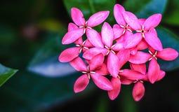 rosafarbene ixora Blumen Lizenzfreie Stockbilder