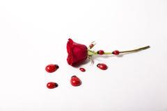 Rosafarbene Käfer einer Lizenzfreies Stockfoto