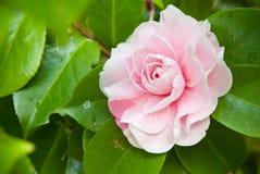 Rosafarbene Kamelie Stockbild