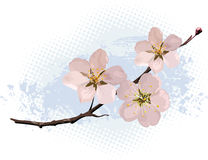 Rosafarbene Kirschblüte Stockfoto