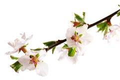 Rosafarbene Kirschblüte Stockbild