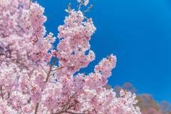 Rosafarbene Kirschblüte Stockfotografie