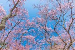 Rosafarbene Kirschblüte Lizenzfreies Stockbild