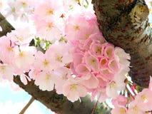 Rosafarbene Kirschblüten Lizenzfreie Stockfotos
