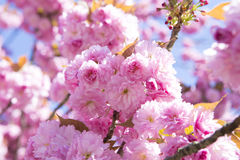 Rosafarbene Kirschblüten im Frühjahr Lizenzfreies Stockfoto
