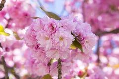 Rosafarbene Kirschblüten im Frühjahr Stockfotografie