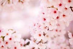 Rosafarbene Kirschblüten Lizenzfreies Stockbild