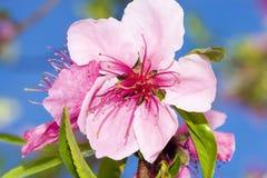 Rosafarbene Kirsche Blossum 8720 Stockfotografie