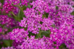 Rosafarbene kleine Blumen Lizenzfreie Stockfotografie