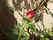 rosafarbene Knospe Lizenzfreie Stockfotos