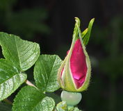 rosafarbene Knospe Stockfoto