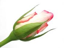 Rosafarbene Knospe des einzelnen Rotes auf weißem Hintergrund lizenzfreie stockbilder
