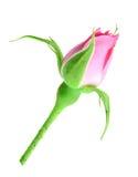 Rosafarbene Knospe des Rosas auf einem grünen Stiel Stockbilder