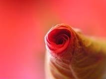 Rosafarbene Knospe des Rotes Lizenzfreie Stockfotos
