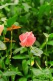 Rosafarbene Knospe des schönen Rosas lizenzfreie stockfotos