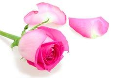 Rosafarbene Knospeblume von stieg Lizenzfreies Stockbild